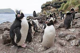 Erect-crested penguins are among the diverse range of species found at the Antipodes Islands  	© Bob Zuur / WWF