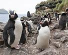 Erect-crested penguins are among the diverse range of species found at the Antipodes Islands