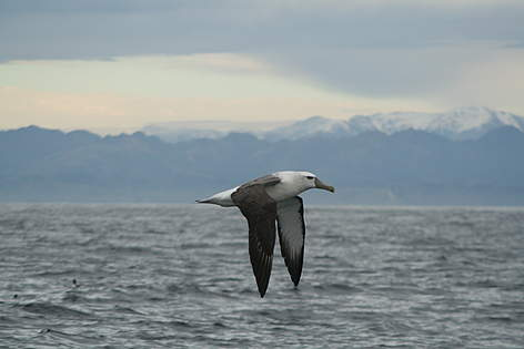 Adult shy albatross from the Auckland Islands in flight about 5 miles off Kaikoura Peninsula  rel=