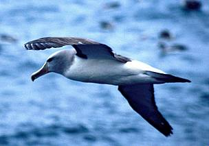 Salvin's albatross  	© (C) Flukephotography@gmail.com / WWF-New Zealand
