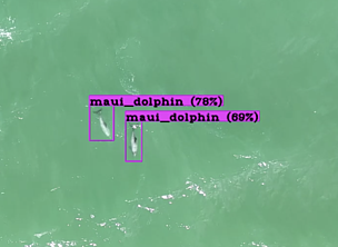 Maui dolphins spotted by a drone